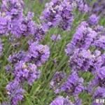 Lavender Sa Profile Picture